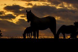 HorsesNightVision
